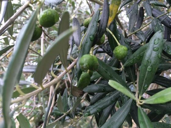 オリーブの実が成長中